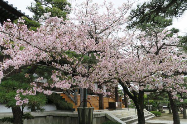 常楽寺の本堂前 桜