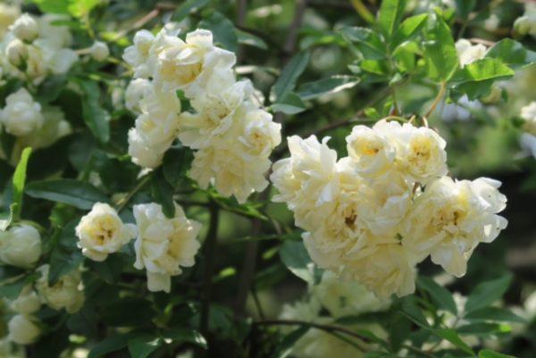 白モッコウバラ2