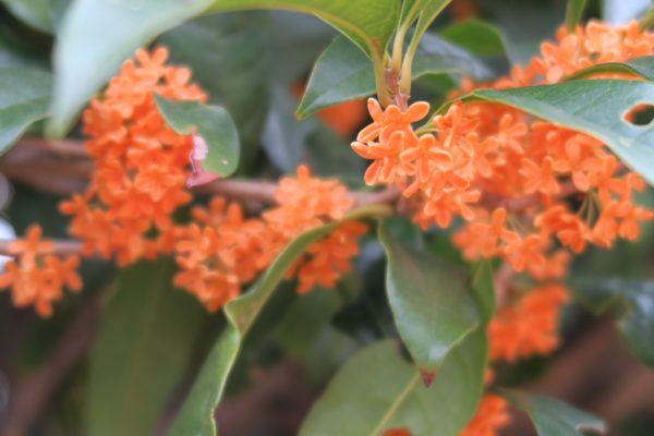 優しいオレンジ色のキンモクセイ