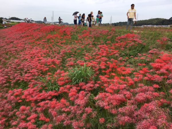 矢勝川の彼岸花_2