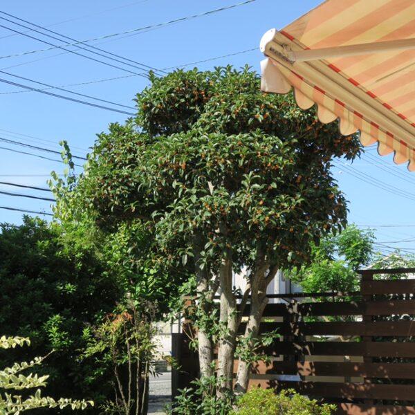 自家焙煎珈琲丸喜の庭のキンモクセイが良い香り